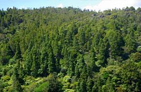 Kauri Distribution