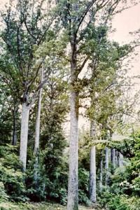 Waipoua Giants